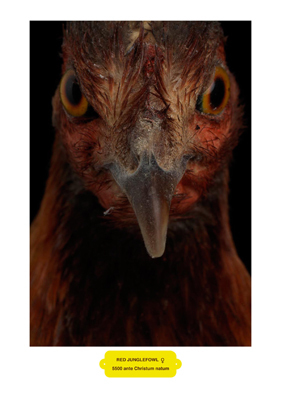 Red Jungle Fowl (G) Vesta Klein by Vanmechelen Koen