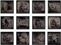 12 Collodions Lions 1/3 by Van Malderen Griet